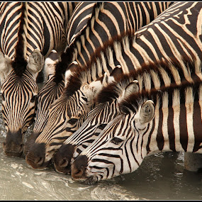 Stipes by Romano Volker - Animals Other Mammals