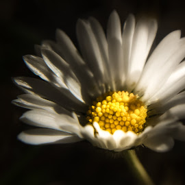 light... by Tanya Popove - Nature Up Close Other plants ( macro, petals, daisy, light, flower )