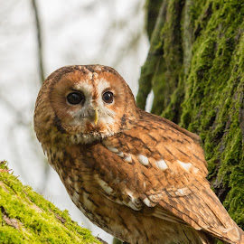 Tawny Owl by Andrew Moore - Animals Birds