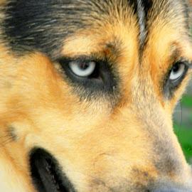 by Karen Hodges - Animals - Dogs Portraits ( dog portrait, dog, german shepard )