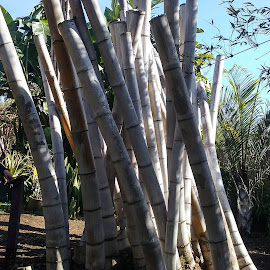 Bamboo1 by Gail Marsella - Nature Up Close Gardens & Produce ( bamboo, blue, shadow, san diego botanical garden, sun )