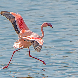 Walking on Water by Pravine Chester - Animals Birds ( water, flight, animals, nature, flamingo, wildlife, flamingo flying, birds )