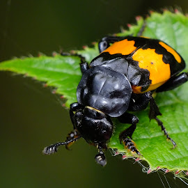 Sexton Beetle by Pat Somers - Animals Insects & Spiders