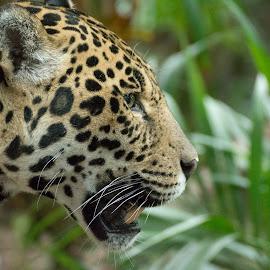 by Joe Ellwood - Animals Lions, Tigers & Big Cats