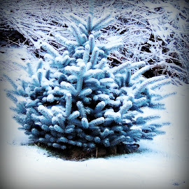 Blue Spruce by Becky Luschei - Nature Up Close Trees & Bushes ( tree, neighborhood, snow-covered, evergreen, blue spruce )