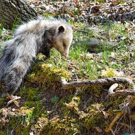 Possum Pete by Deborah Russenberger - Animals Other ( opossum, virginia possum, marsupial, russenberger ranch )