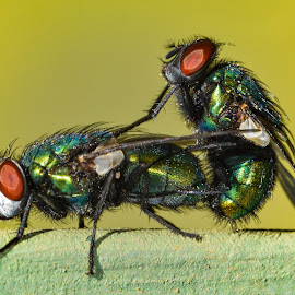 Blowflies mating by Hrodulf Steinkampf - Animals Insects & Spiders ( insecta, fauna, fly, insects, mating, blowfly )
