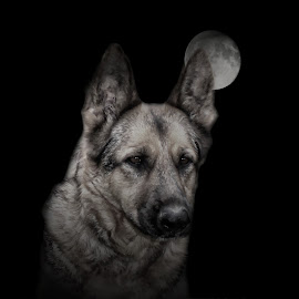 Maggie with the harvest moon by Dawn Vance - Animals - Dogs Portraits ( moon, german shepherd dog, night, dog, animal )