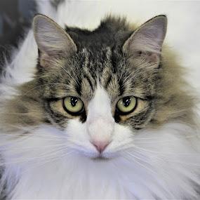 Opie by Sarah Douglas - Animals - Cats Portraits (  )