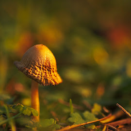 Mushroom in the park by Yani Dubin - Nature Up Close Mushrooms & Fungi ( mushroom, dreamy, gimp, fungus, sb700, yellow, bokeh, colour, macro, fungi, nature, serenity, tokina af 100mm f2.8 macro, focus, darktable, gold, light, nunweek park, macrophotography, canterbury, sharp, green, new zealand, winter, color, christchurch, d7000, dof, tranquility )