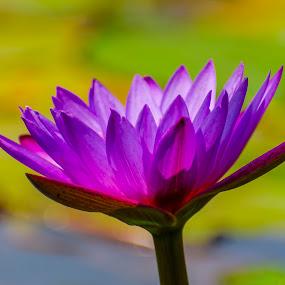 Water Lily by Priyank Jha - Nature Up Close Flowers - 2011-2013 ( macro, nature, waterlilly, nikon d7100, chhattisgarh, raipur, nikon micro 105mm f2.8 )