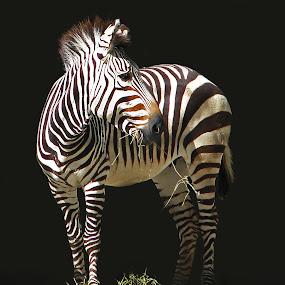 Wearing Striped Pajamas by Sharon Pierson - Animals Horses ( black and white, zebra, stripes )