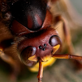 Hornets have five eyes by Joe Saladino - Animals Insects & Spiders ( macro, insect,  )
