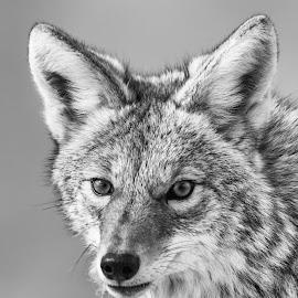 Wolf Portriat by Carl Albro - Black & White Animals ( black and white, wolf, salt lake city, portrait )