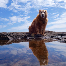Reflection of Toby by Sandra Updyke - Animals - Dogs Portraits ( toby, reflections, lake superior, dog, golden retriever )