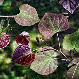 Redbud Leaves by Debra Branigan - Nature Up Close Leaves & Grasses ( redbud, trees, nature up close, leaves, photography )