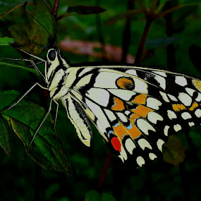 Lime Butterfly by Rajashri Joshi - Animals Insects & Spiders ( butterfly, colourful, beautiful, lime, dots, close up )