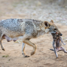 Jackal mother and cub by Tzvika Stein - Animals Other Mammals
