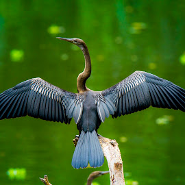 Oriental Darter by Madhu Soodanan - Uncategorized All Uncategorized