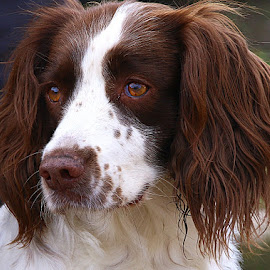Pretty Pops by Chrissie Barrow - Animals - Dogs Portraits ( springer spaniel, female, pet, white, fur, ears, brown, dog, nose, portrait, eyes )