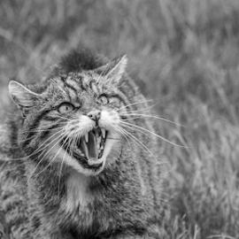 Wildcat by Garry Chisholm - Black & White Animals ( nature, mammal, scottish, wildcat, garry chisholm )