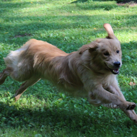 Joey ' Just Passing Through by Ellee Neilands - Animals - Dogs Running ( canine, happy, pet, play, dog, running, golden retriever )