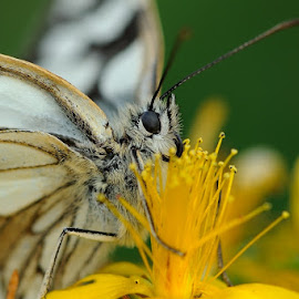 I need nectar! by Bencik Juraj - Animals Insects & Spiders ( butterfly, insect, close up )