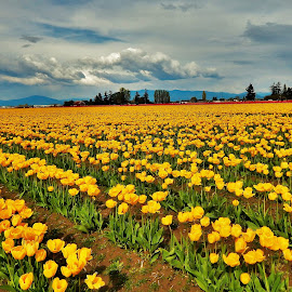 tulips -yellow by Lavonne Ripley - Landscapes Prairies, Meadows & Fields (  )