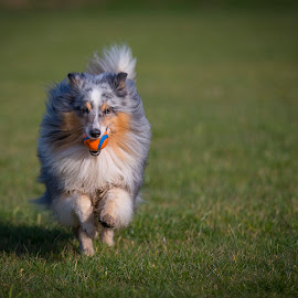 gome out and play  by 'Monique Smit - Animals - Dogs Running ( sheepdog, dog, sheltie, animal )