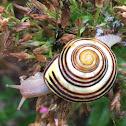 Banded garden snail or Grove snail