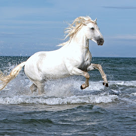 Rameses by Helen Matten - Animals Horses ( galloping, water, stallion, wild, horses, camargue, white, sea, beach )