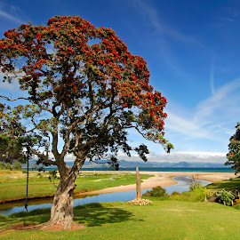 Pohutukawa tree, Kuaotunu Beach. by Graeme Hunter - Landscapes Beaches