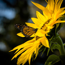 Sunflower and Butterfly by Ron Biedenbach - Nature Up Close Gardens & Produce ( monarch butterfly, butterfly, monarch, sunflower, garden, flower )