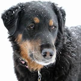 Snow Day II by Kari Schoen - Animals - Dogs Portraits ( canine, black dog, snowday, snow day, dog )