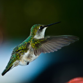 Hummingbird Portrait by Shaun White - Animals Birds ( bird, macro, canada, nova scotia, hummingbird, pwctaggedbirds,  )