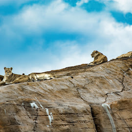 The Rock by Andy Smith - Animals Lions, Tigers & Big Cats ( big cats, lioness, rock, group,  )