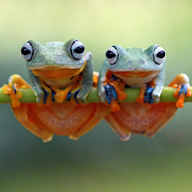 Rhachoporus Reinwardtii by Kurit Afsheen - Animals Amphibians ( macro, frog, tree frog, amphibian, animal )