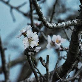 Almond tree blossom  by Orit Shlomov - Nature Up Close Gardens & Produce