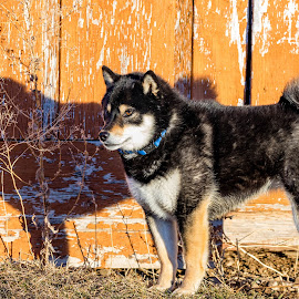 Maple's Shadow by Chad Roberts - Animals - Dogs Portraits ( shiba inu, female, shadow, puppy, dog, black and tan, maple )