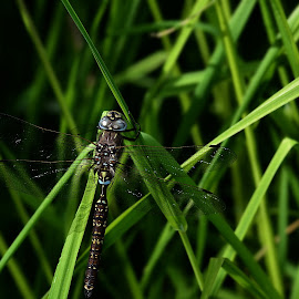 Blue Spotted Hawker Dragonfly by Yani Dubin - Animals Insects & Spiders