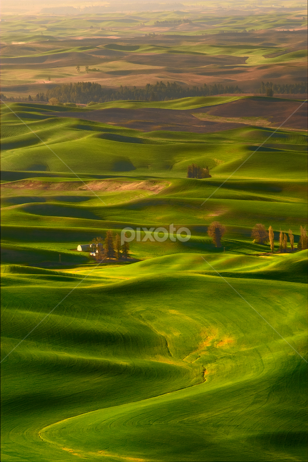 A Wheat Whisper by Ryan J. Rowe - Landscapes Prairies, Meadows & Fields ( wheat, hills, palouse, grass, green, beautiful, beauty, landscape, spring, farm, washington, rolling, trees, sunrise, steptoe, light, golden )