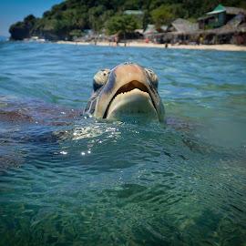 Curious Turtle by Sergei Tokmakov - Animals Sea Creatures ( apo, nature, underwater, sea turtle, cebu, sea, tourism, travel, beach, philippines, turtle )