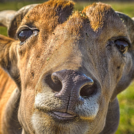An African Horned Animal by Pat Lasley - Animals Other Mammals ( african, horned, wildlife, mammal, animal )