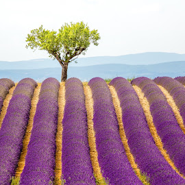 Valensole Rows by David Long - Landscapes Prairies, Meadows & Fields ( provence, lavender, valensole )
