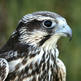 L'oeil du faucon by Gérard CHATENET - Animals Birds