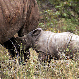 baby rhino by Leon Pelser - Animals Other Mammals ( no flash, 1/1000, f 6.3, iso 800, daylight wb,  )