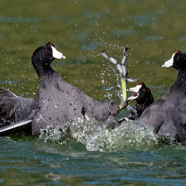 First Rule of Coot Club by Raphael RaCcoon - Animals Birds ( birds, coots )