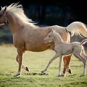 wind blowing our mane by Glenys Lilley - Animals Horses ( palomino     mare     foal     horse     gallop )