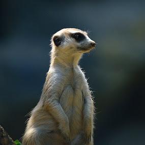 by Vladymyr Sergeev - Animals Other Mammals
