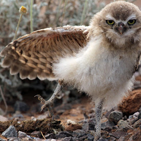 Baby Burrowing owl by Dave . - Animals Birds ( bird, wild, burrowing owl, nature, owl, wildlife,  )